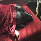Potbellied Pig Sitter Needed Immediately