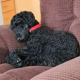 Occasionally sitting with my miniature poodle in my home. Stay at home person needed. May be overnight occasionally.