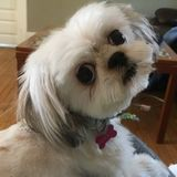 Caring Pet Sitter Wanted Immediately for 2 tiny shzitzues in our home. Availability aug 28-sept 3