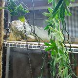 Seeking boarding for adult green iguana