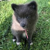 Looking for a Petsitter for my Pomeranian puppy