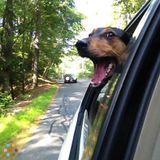 Dog Walker in Ayer