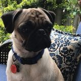 Wanted: overnight care for a cute pug