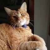 Pet Sitter Needed for Easy Going Orange Tabby