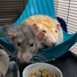 Looking for someone to love on our ratties