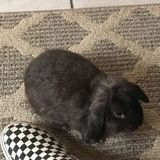 Opportunity: a Reliable rabbit Sitter in Inglewood