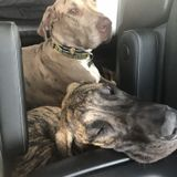 Peoria Dog Sitter Opportunity