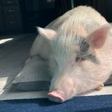 Looking for Pet Sitting Mon-Thur for our pig in Fitchburg MA