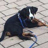 Dog Walker Job, Pet Sitter Job in Pointe-Claire