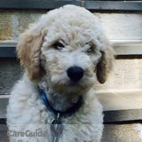 Looking for Puppy Walking beautiful Goldendoodle-daily at home in ossining ny monday through friday 11:00 am. to 11:30 a.m.