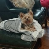 House and Yorkie and 2 Kitties Sitter Position Available in Towson/Hampton MD.