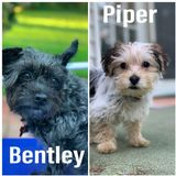 Sitter needed for 2 fun Morkies on 5/4