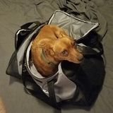 Looking for a Loving Forever Home for my Adorable boy Min-Pin