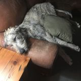 Loving pet sitter needed for for two Golden Doodles and an Irish Wolfhound.