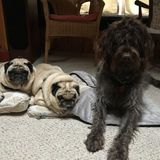 Occasional weekday walker needed for 3 sweet dogs in Centreville, MD