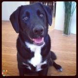 Friendly Lab Mix Needs A Pet Sitter!