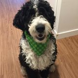 Looking for someone to walk/take my cute bernadoodle out at lunch