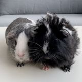 Care needed for guinea pig and rabbits