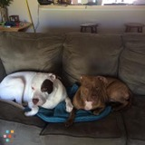 Need an in home Dog Sitter for 2 large dogs