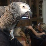looking to board an African grey parrot and senior German Shepherd Nov 2-11, 2019