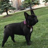 Looking for Bracebridge, Ontario Dog Sitter. French Bulldog puppy-