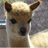 Alpaca Helper & Sitter Wanted Middletown NY