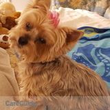 Need sitter for 12 yr. Old Yorkie